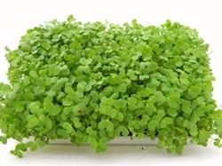Горчица белая семена для проращивания микрозелени, 100г - фото 10852