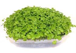 Сельдерей семена для проращивания микрозелени и зелени, 50г - фото 10861
