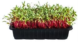 Свекла красная семена для проращивания микрозелени и беби листьев, 100г - фото 10867