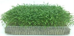 Морковь семена для проращивания микрозелени, 100г - фото 10869