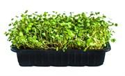 Люцерна Альфа семена для проращивания микрозелени, 100г