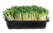 Клевер красный семена для проращивания микрозелени, 100г