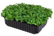 Капуста кале (кейл) кудрявая семена для проращивания микрозелени и беби зелени, 50г