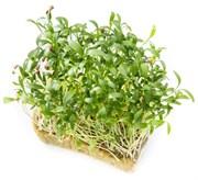 Кориандр (Кинза) семена для проращивания микрозелени и зелени, 100г