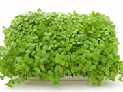 Горчица белая для проращивания микрозелени, 100г