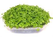 Сельдерей для проращивания микрозелени и зелени, 50г
